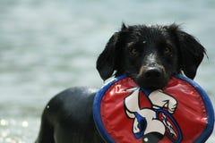 Hund, der im Wasser mit einem Frisbee spielt Stockbilder