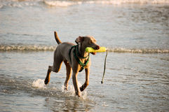 Hund, der im Wasser spielt Lizenzfreie Stockfotos