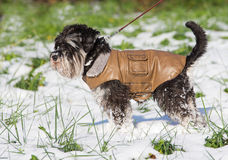 Hund in der Jacke Stockfoto