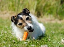 Hund, der Karotte isst stockfoto