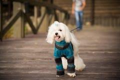 Hund in der Kleidung stockfoto