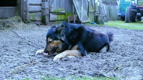 Hund, der Knochen am Winter isst stock video