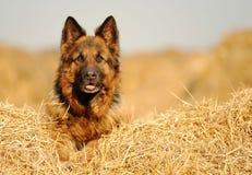 Hund in der Krippe Lizenzfreie Stockbilder