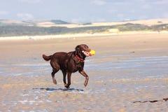 Hund, der Kugel auf dem Strand spielt Lizenzfreies Stockfoto