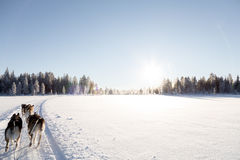 Hund, der in Lappland rodelt Lizenzfreie Stockbilder