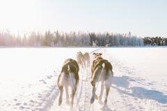 Hund, der in Lappland rodelt Stockbilder
