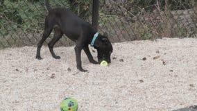 Hund, der mit Ball läuft und spielt stock video footage