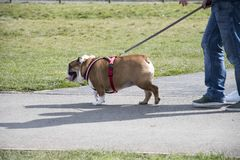 Hund, der mit dem Eigentümer geht stockbild