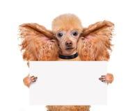 Hund, der mit den großen Ohren hört lizenzfreie stockbilder