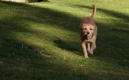 Hund, der mit einem Stein spielt Stockfoto