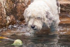 Hund, der mit einem Tennisball spielt lizenzfreie stockfotos