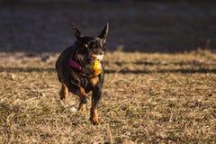 Hund, der mit einer Kugel läuft stockbild
