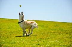Hund, der mit einer Kugel spielt Lizenzfreie Stockbilder