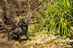 Hund, der mit einer Niederlassung spielt stockfotografie