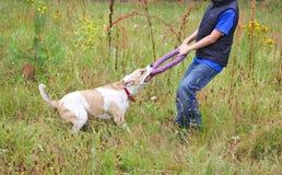 Hund, der mit einer Wirt Wiese spielt Lizenzfreie Stockbilder