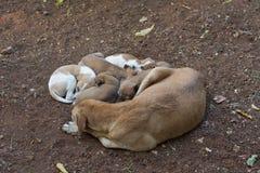 Hund, der mit fünf Welpen schläft Stockfoto