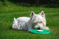 Hund, der mit Frisbee spielt Stockbild