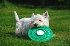 Hund, der mit Frisbee spielt Lizenzfreie Stockbilder