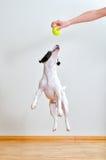 Hund, der mit Kugel spielt Stockfotografie