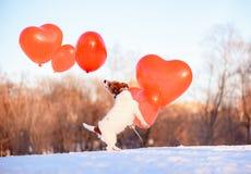 Hund, der mit vielen Luftballonen an schönem Februar-Tag als Valentinstagfeiertagskonzept spielt lizenzfreies stockfoto