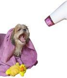Hund, der nach getrocknetem hairdryer sich pflegt Stockfoto