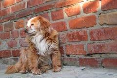 Hund, der nahe Backsteinmauer sitzt Nahaufnahme eines roten Hundes der Mischungszucht oder des nicht reinrassigen K?ters Obdachlo stockbilder