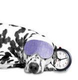 Hund, der nahe bei einem Wecker schläft Stockfotos