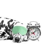 Hund, der nahe bei einem Wecker schläft Lizenzfreie Stockfotos