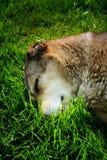 Hund, der oben auf dem Grasabschluß schläft Lizenzfreies Stockbild