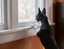 Hund, der oben schauend steht Lizenzfreies Stockbild