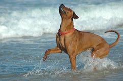Hund, der oben schaut Lizenzfreies Stockfoto