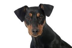 Hund, der oben schaut Stockfotografie