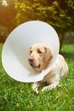 Hund, der Plastikkegelkragen trägt Stockbilder