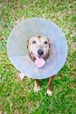 Hund, der schützenden Kragen trägt Stockbilder