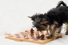 Hund, der Schach spielt Stockfotografie