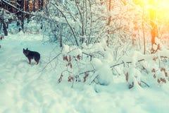 Hund, der in schneebedeckten Wald geht Stockfotos