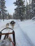 Hund, der in Schweden rodelt Stockfotografie