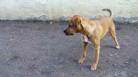 Hund, der sein Endstück wedelt stock video