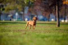 Hund, der seinen Wirt aufpasst Lizenzfreies Stockbild