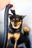 Hund, der shampooed ist Stockbild