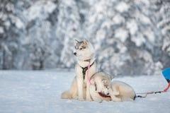 Hund der sibirischen Huskys, der auf einem Schnee sich entspannt lizenzfreies stockfoto