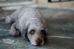 Hund, der sich hinlegt Lizenzfreies Stockfoto
