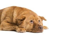 Hund, der sich hinlegt und oben schaut Lizenzfreies Stockfoto