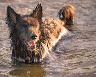 Hund, der Spaß in einem Fluss hat Stockbilder