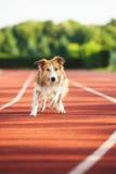Hund, der am Sportstadion läuft Lizenzfreies Stockfoto