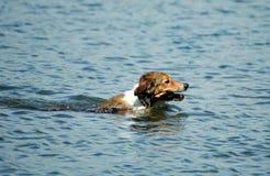 Hund, der Steuerknüppel holt stockfotos