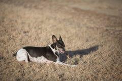 Hund, der Steuerknüppel kaut lizenzfreie stockfotos