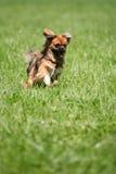 Hund, der Steuerknüppel nachläuft Lizenzfreie Stockfotos