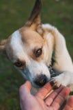 Hund, der Tatze mit Menschen rüttelt Lizenzfreies Stockbild