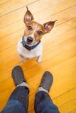 Hund, der um Nahrung bittet Stockfotos